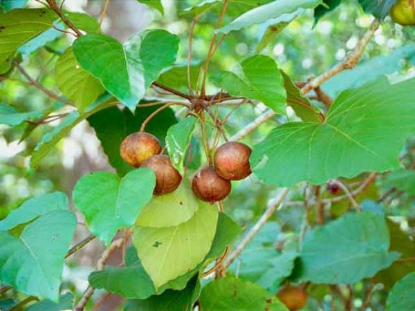 Плоды тунгового дерева для получения масла