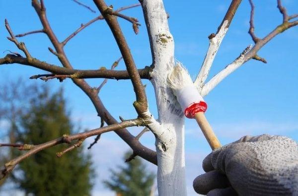 Окраска садовых деревьев защитной краской