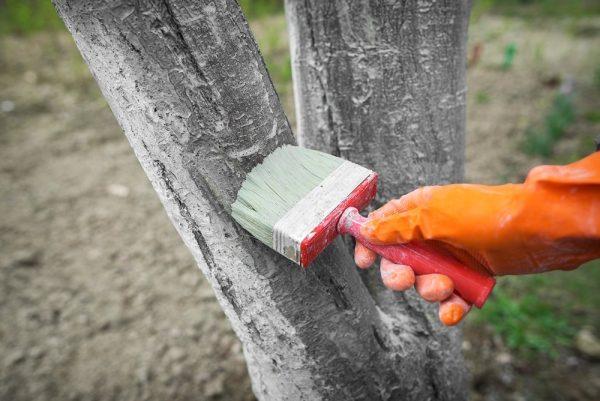Известь защищает деревья от вредителей