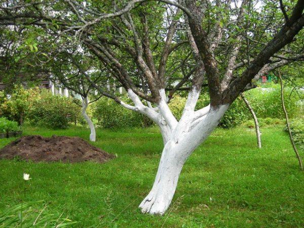 Покраска стволов яблонь
