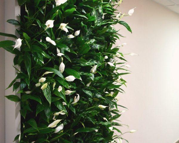 Цветущий спатифиллум на стене