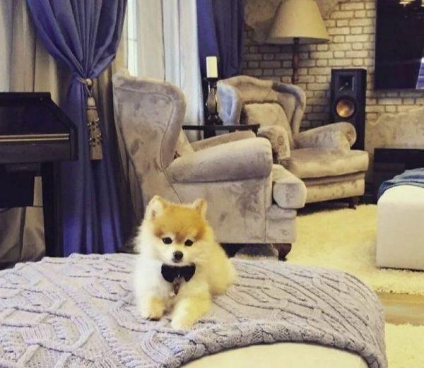 Собачка шпиц Пуха на кровати в доме Преснякова