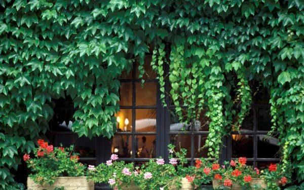 Вьющиеся растения на окнах