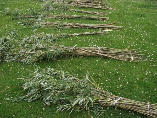 Заготовка прутьев ивы для забора